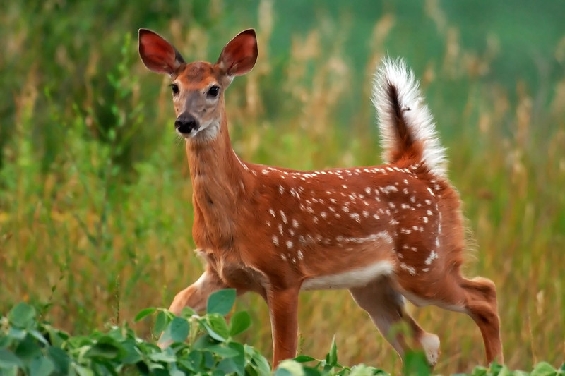 fawn WED_7763
