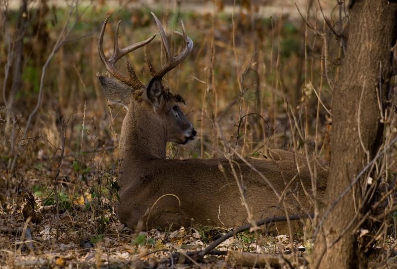 Whitetail Buck JEN_3173