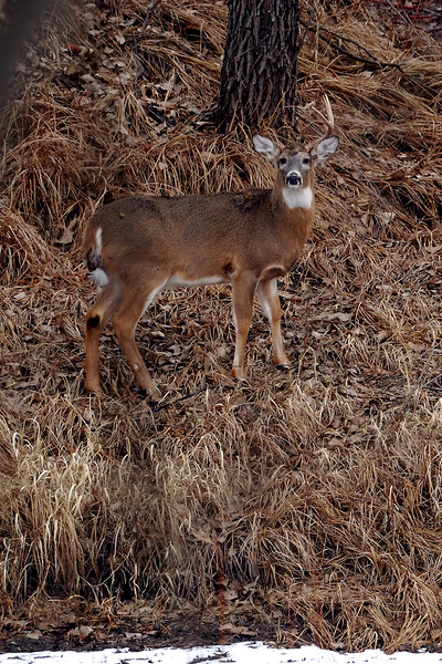 Whitetail DHY_1442
