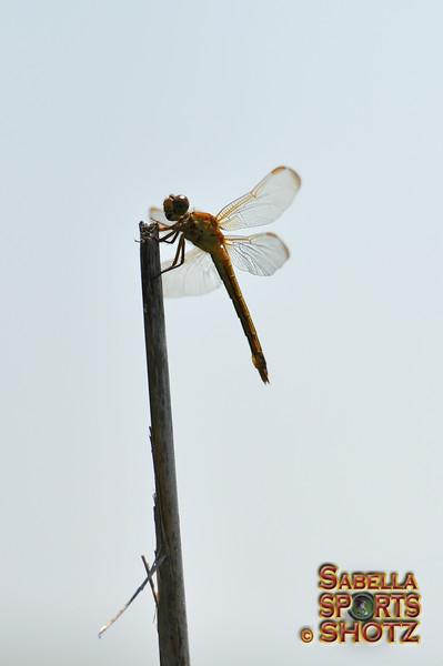 Dragonfly - 27