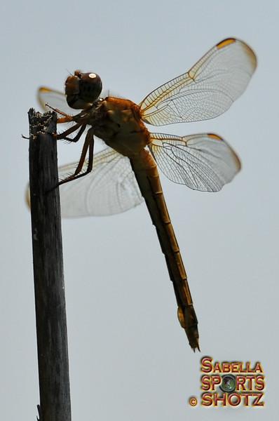 Dragonfly - 30