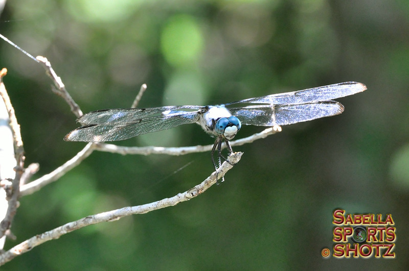 Dragonfly - 04