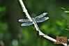 Dragonfly - 32