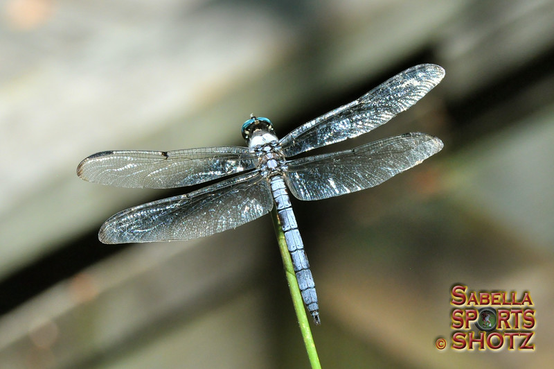 Dragonfly - 08