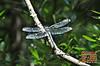 Dragonfly - 35