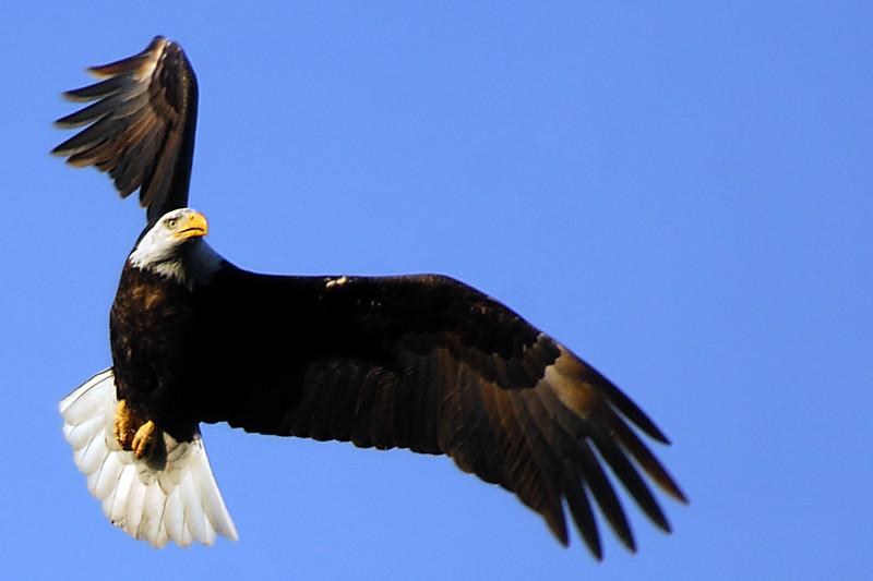Eagle WLD_2108