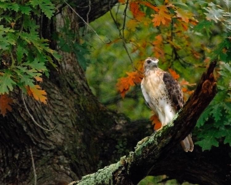 Redtailed hawk LSF_75371