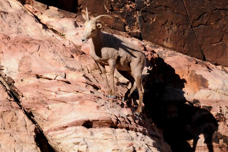 Desert Big Horn Sheep GOP_4398