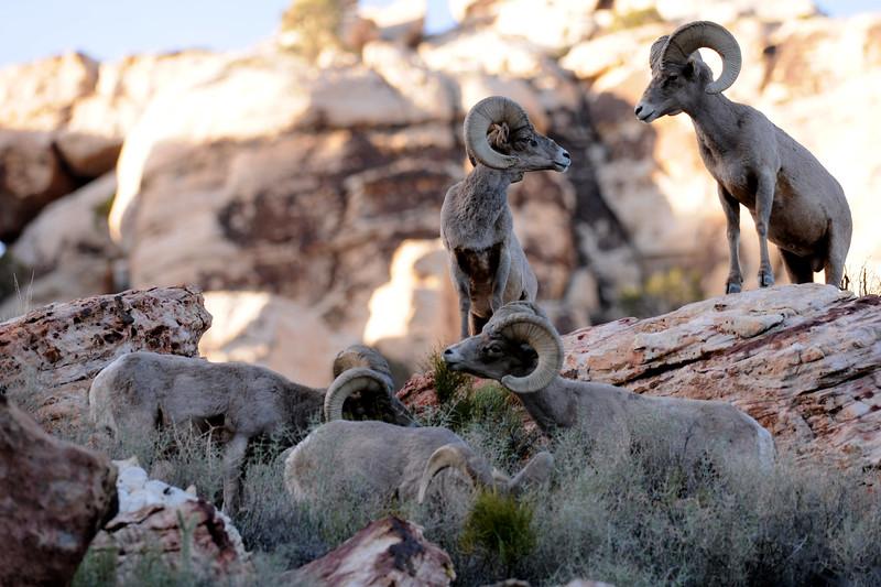 Desert Big Horn Sheep GOP_4595