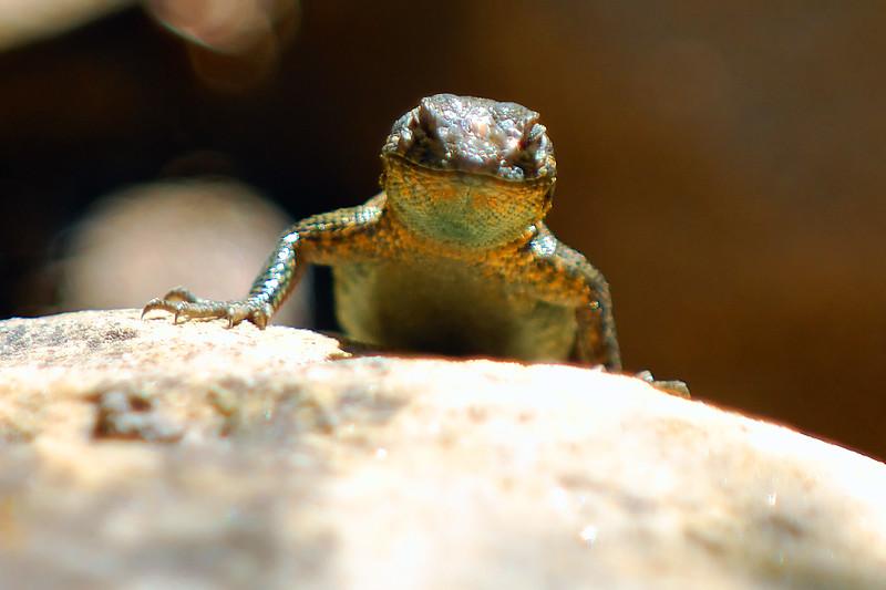 Lizard WLD_1857