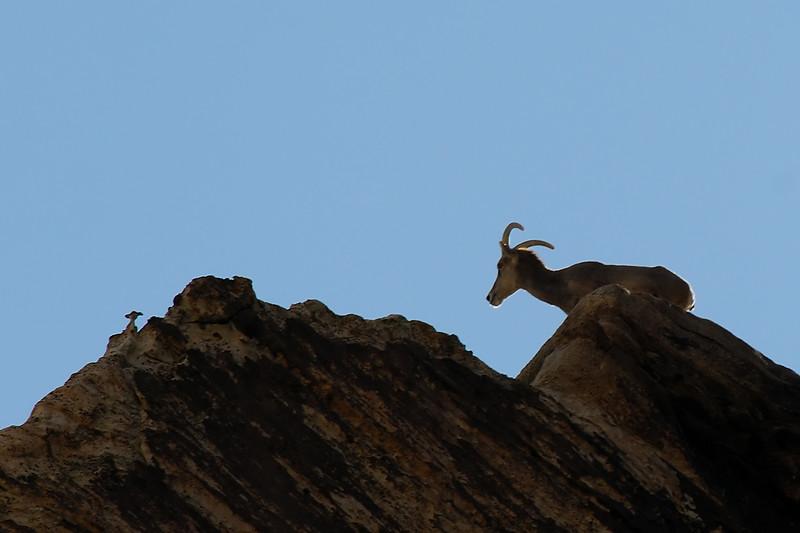 Goat WLD_1817