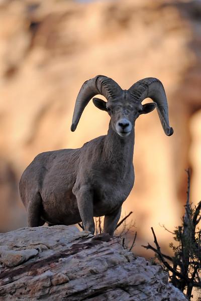 Desert Big Horn Sheep GOP_4568