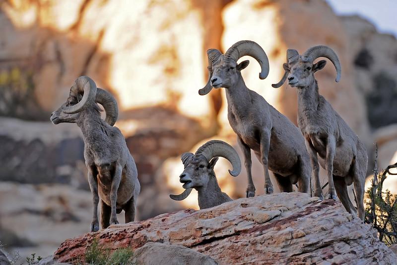 Desert Big Horn Sheep GOP_4607