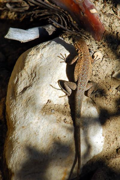 Lizard WLD_1853