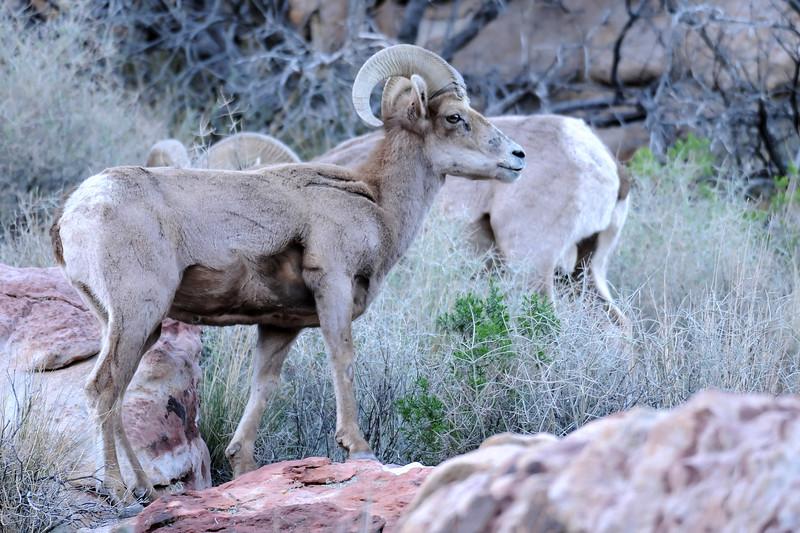 Desert Big Horn Sheep GOP_4459