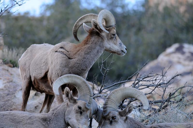 Desert Big Horn Sheep GOP_4535