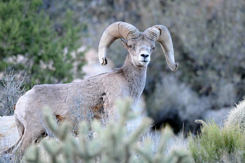 Desert Big Horn Sheep GOP_4511