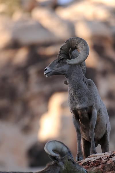 Desert Big Horn Sheep GOP_4572