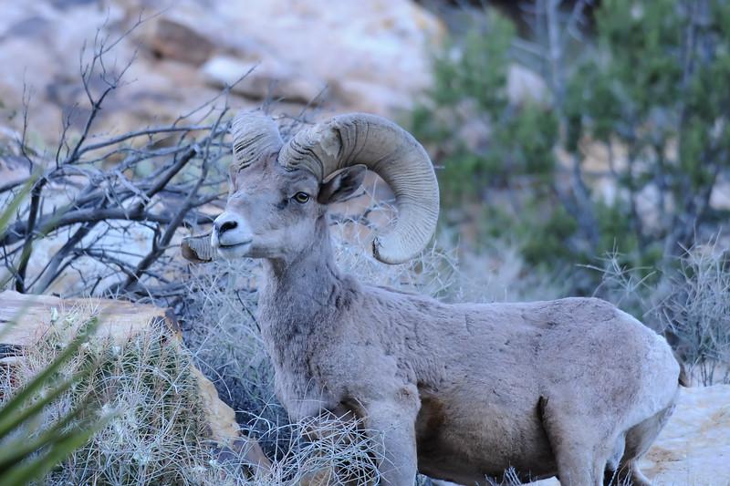 Desert Big Horn Sheep GOP_4440