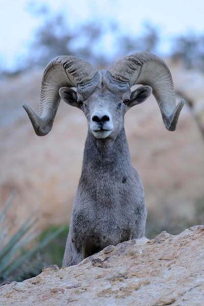 Desert Big Horn Sheep GOP_4505