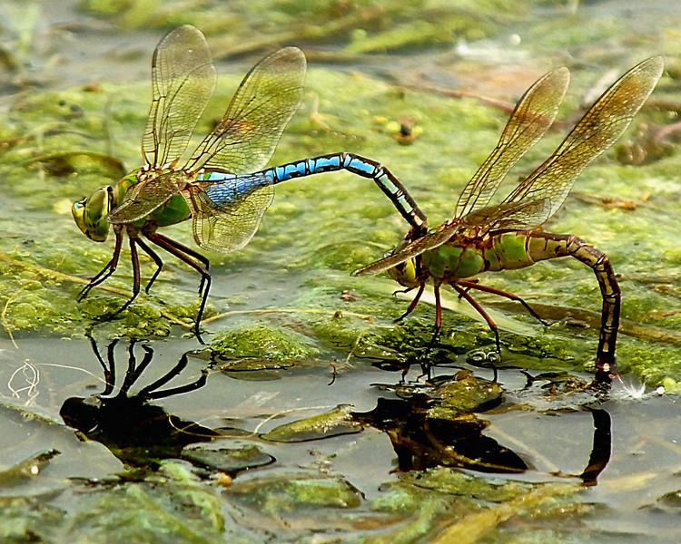 Dragonfly BA1_5358