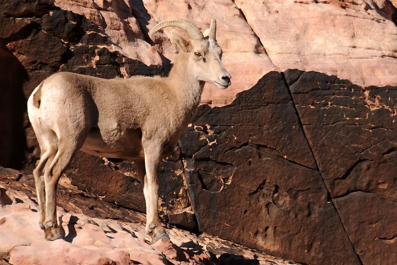 Desert Big Horn Sheep GOP_4413
