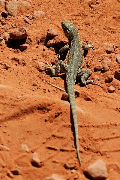 Lizard WLD_1860