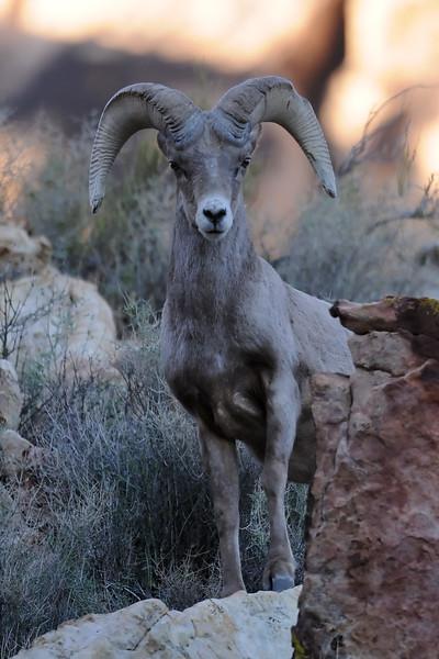 Desert Big Horn Sheep GOP_4463