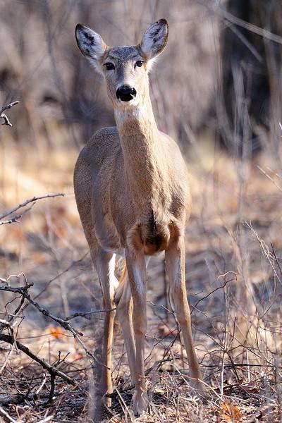Deer LST_5806