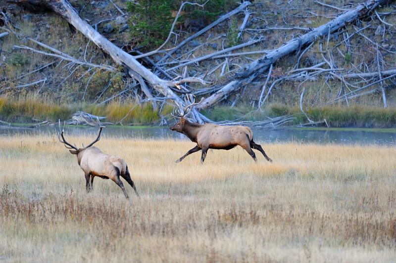 Bull Elk BG2_0733