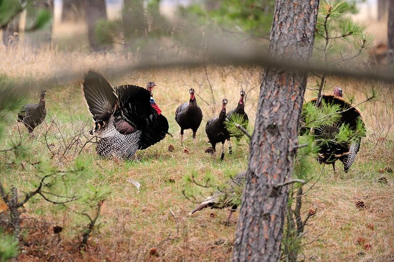 Turkeys S11_7162