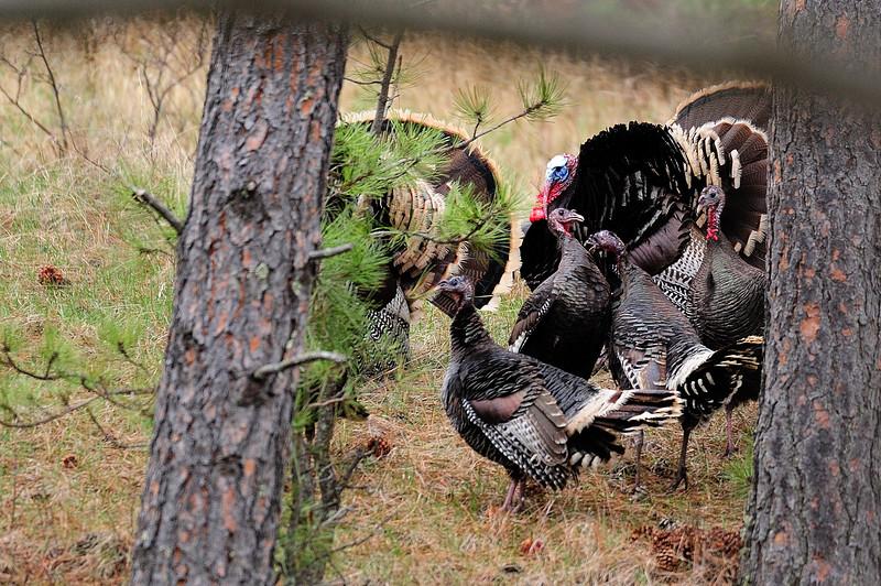 Turkeys S11_7131