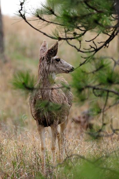 Mule Deer S11_7185
