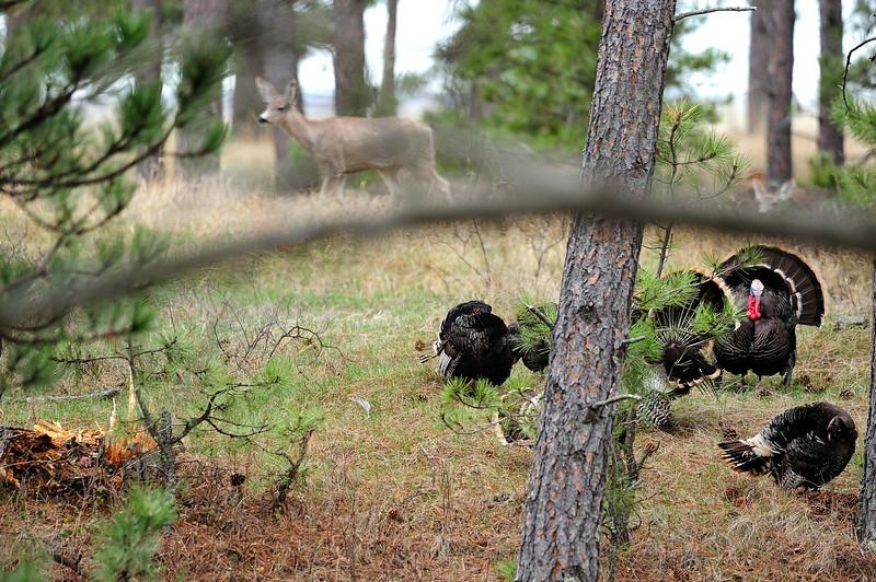 Turkeys and Mule Deer S11_7176