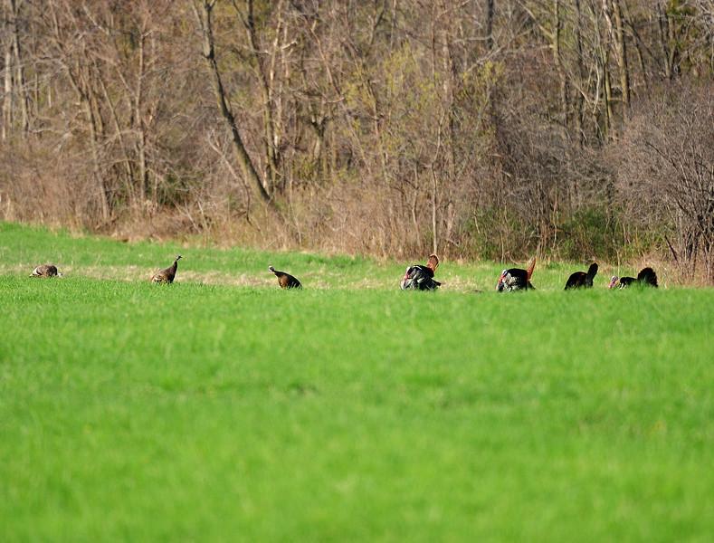 Turkeys MY1_8238