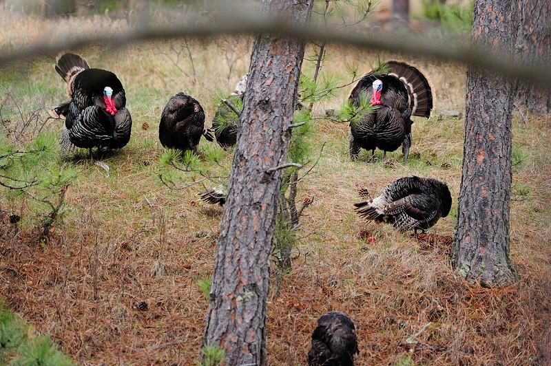 Turkeys S11_7179