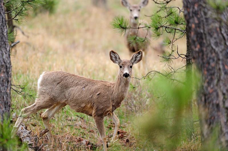 Mule Deer S11_7188
