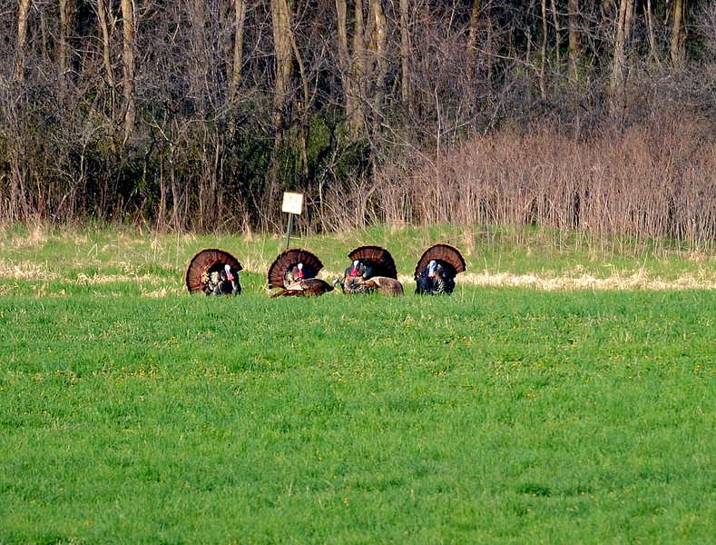 Turkeys MY1_8223