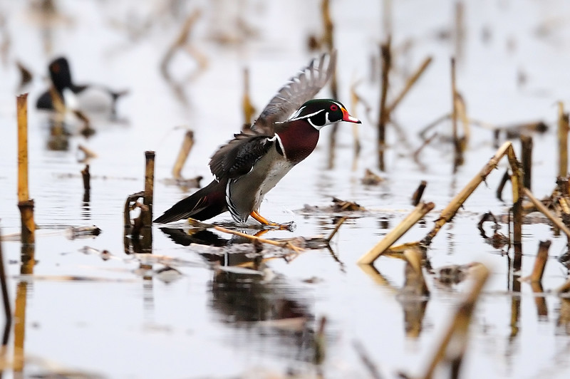 11 wood duck landing S11_6463