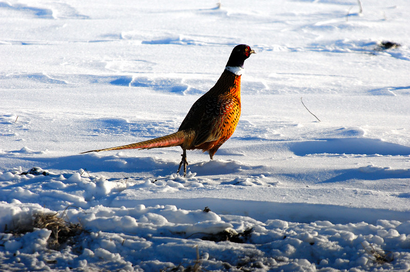 Pheasants DHY_5486