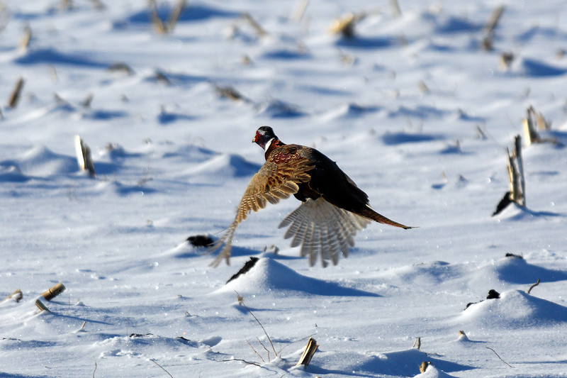 Pheasant DHY_5454