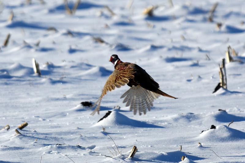 Pheasant DHY_5454