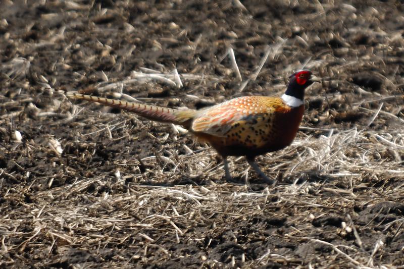 Pheasant 1WD_2285