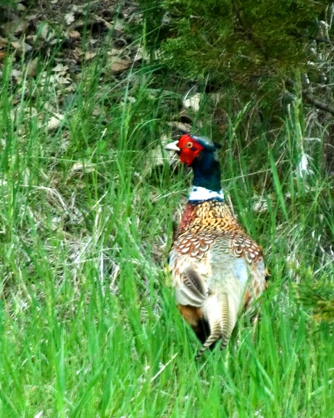 pheasant-rooster-MWL_3748