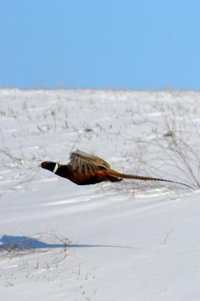 Pheasant 1WD_2221