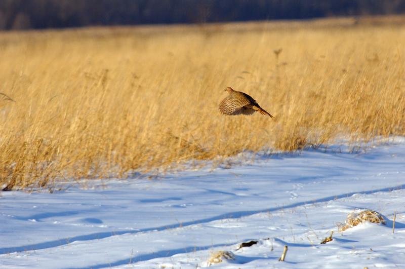 pheasant DHY_5498