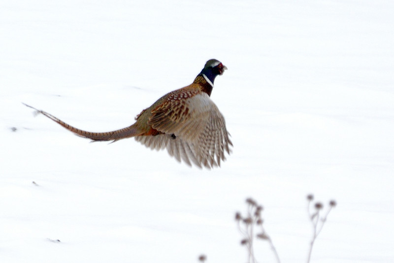 Pheasant DHY_5433