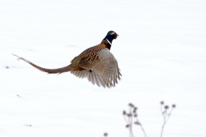 Pheasant DHY_5433