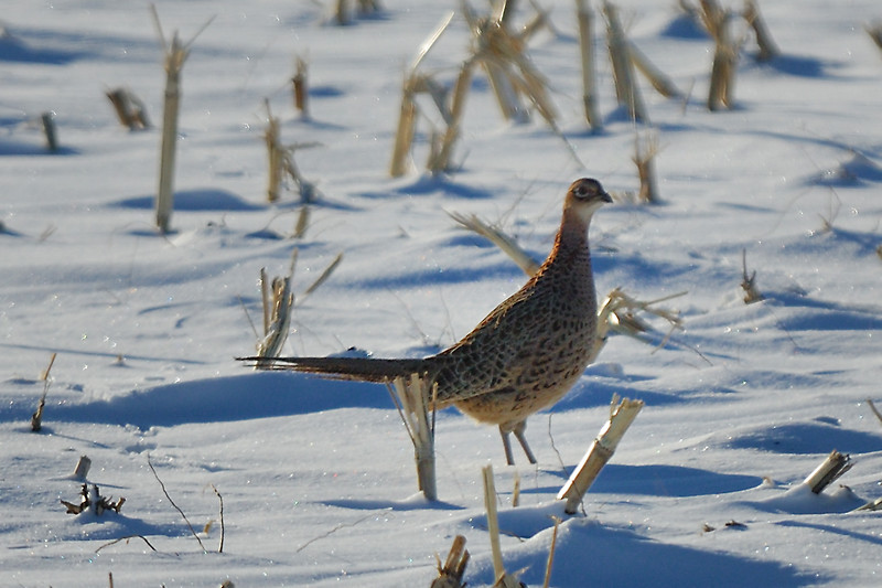Pheasant DHY_5464