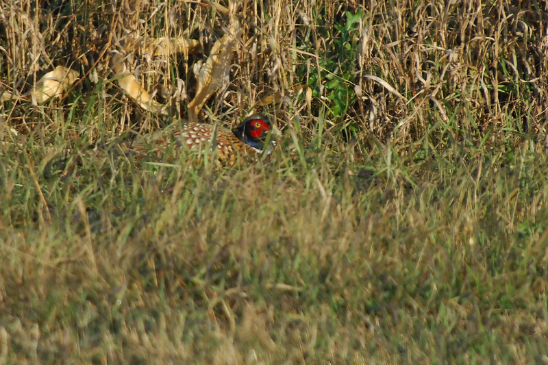 Pheasant 2WD_0023